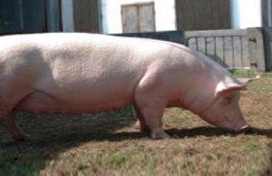 母猪离预产期还有20多天死活不吃食怎么办