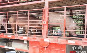 980头从美国引进的种猪解除隔离并在国内
