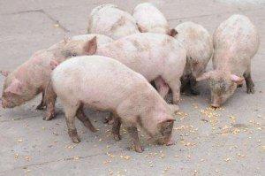 高温为什么会导致猪不吃食?猪不吃食怎么处理?