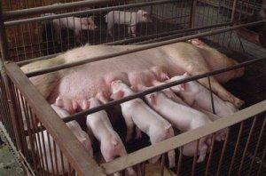 高温影响猪这么多方面!夏季猪如何养才增效?