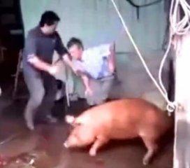 农民杀猪,猪没事,人却倒地上了,咋回事儿?