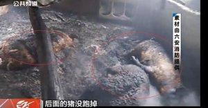养猪场突发大火上百头猪被烧死,疑似猪场冷风机短路致火