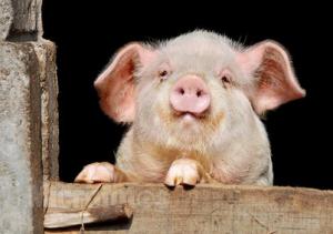 2017-8-13猪价呈稳小幅回落之势,后市猪价震荡的两大原因
