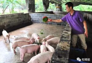 在不用或者少用兽药的情况下能把猪养好吗