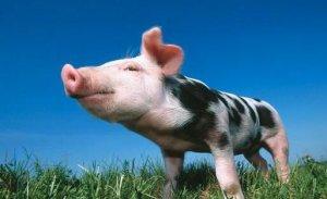 国家最新规定,养猪场必须拥有这8个证件,否则一律关停处理!