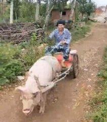 他做上猪拉的车,猪一边跑一边喊,太搞笑了