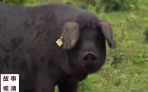 赶进山林的黑猪肉年产值一千多万,究竟是什么猪肉能卖到一千多万!