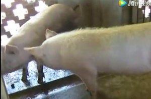 公猪如何安排配种时间,养猪的快点进来看看!!