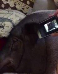 主人录下宠物猪吃东西的声音给它听:这不是我 我不听我!