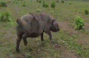 都说猪懒,能躺着绝不站着,但他家的猪天天跑,年收入150万元