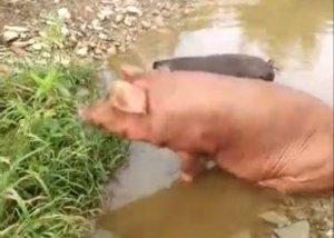 猪吃草?这样养猪,质量堪比野山猪,值得借鉴学习!