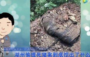 浙江湖州挖出超200吨偷埋病死猪 当地公示曾否认