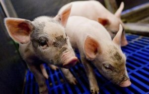 猪场使用脱霉剂后,猪病症状仍不断,养殖户忽略了这些情况!
