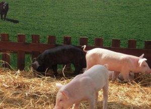 福利化养猪,我国的养猪业真的需要吗