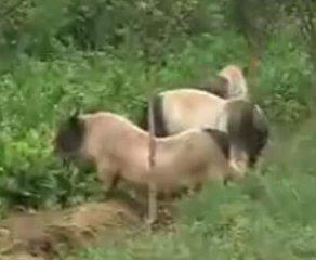 生态养猪:猪场种草又种树,其中的妙处在哪呢?