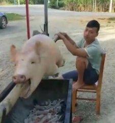 说出来你可能不信,小伙卖烤猪一天收入六千元