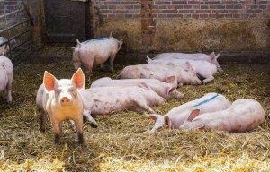 再不看2018养猪四大趋势,赚钱路上就被落下了
