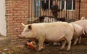 11个养猪增重秘方,喂这些东西猪能长得更快更健康