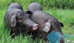 养什么猪最赚钱?如何选择养猪品种?
