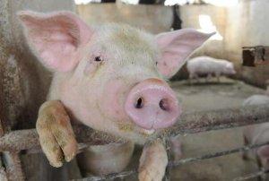 为什么说温度对养猪来讲非常关键?这里告诉你!