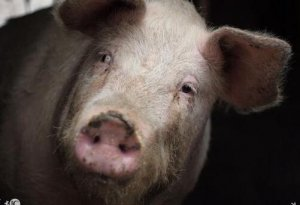 农村猪农的处境,哭解决不了问题,难道你