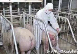 图解母猪深部输精技术