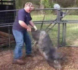 野猪死活不去屠宰场,养猪人这样做,一招就好!