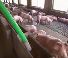 不需要人工来喂猪,连猪粪都不需要人工,大叔这方法绝了!