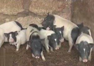 这种猪只吃草一个月就能出栏,果真是又低成本高利润