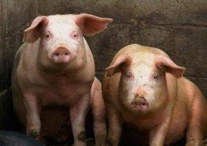 为何育肥猪生长慢?养猪户们给猪健胃了吗?