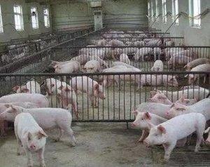 二个养猪小细节,节约了药钱还能让猪更值钱!