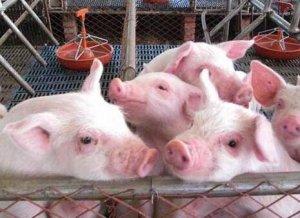 猪场产房母猪这个地方消毒不到,仔猪拉稀控制不住