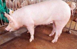 猪粪税要交多少如何收取?养猪人不可错过养猪新手要注意