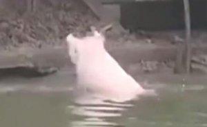 见过一群猪洗澡,跟人类跳游泳池一样吗!