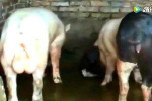 猪是正经的猪,但争不争气那就得看自个手段了!