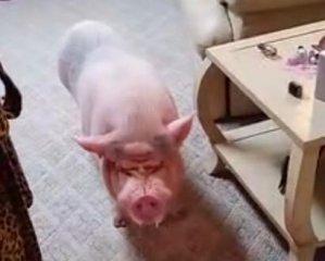 迷你猪长这么大是正常的,毕竟是一头猪天天只知道吃