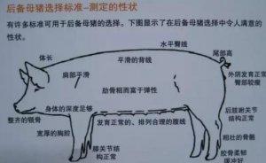 什么样的后备母猪最值得留?图文详细告诉你