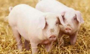 get一项新技能,识别猪病就看这里!