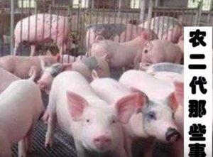 水泥地面养猪有哪些不足?三点让你完全掌握!