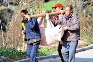 猪场卖猪的4个规律,猪经纪不会告诉你,