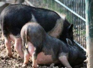 猪场每周工作程序指南,养猪人必看!