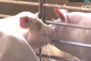 破解生猪产业迷局:循环节水两不误!