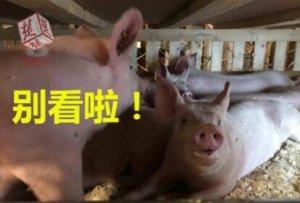 """658头法国种猪乘南航波音777货机飞抵武汉,正式""""落户""""湖北"""