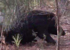 野猪皮到底有多厚?600斤野猪,狮虎都啃不动!