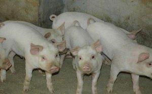 猪场用同样的饲料,为什么有的养