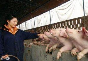 猪并圈打架,养猪人怎么避免,告