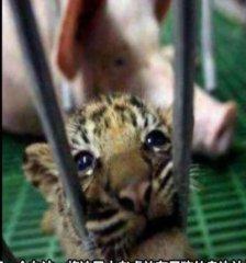 母猪养大小老虎后,老虎竟然和母猪一样除了吃就会睡