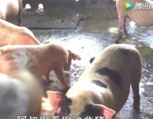 农村养殖母猪能不能挣钱?听听小伙怎么说!