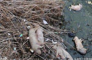 养猪场的死猪都是怎么处理的?最后一种处
