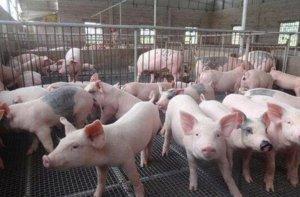 来说说与集团养猪的利与弊